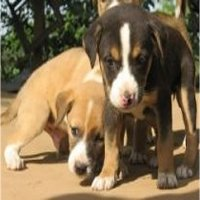 Natural Kennel Cough Treatment For Dogs